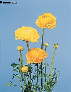 Common Name Ranunculus Botanical Name Ranunculus Asiaticus Flowers Name List Flower Names Flowers