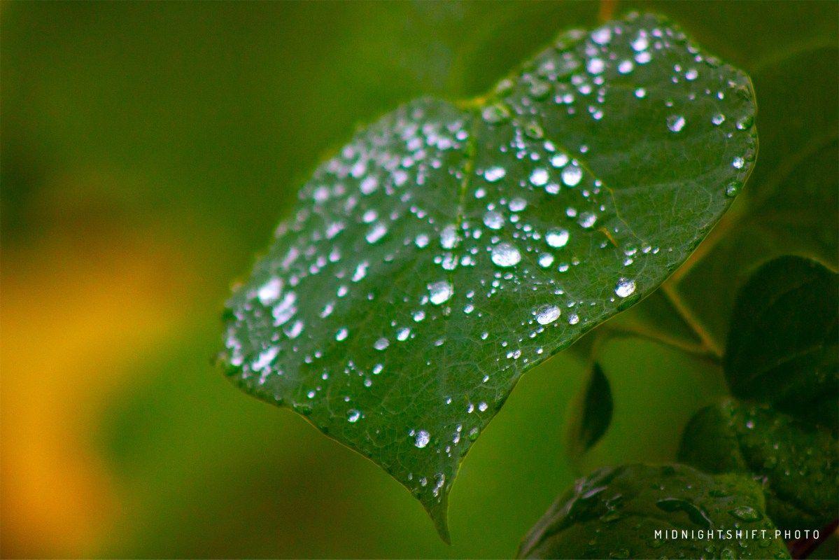 Morning Rain.  #rain #water #summer #leaves #green #droplet #storm #acushnetma #newengland #ma #Massachusetts #trees #plant #leaf #gravity #balance #morning #explore #macro