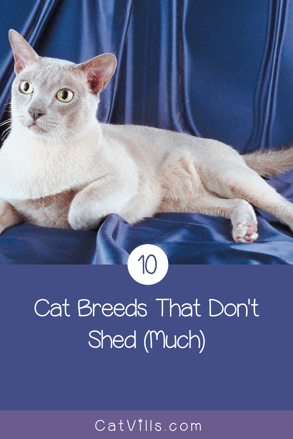10 Cat Breeds That Don't Shed...Much in 2020 Best cat
