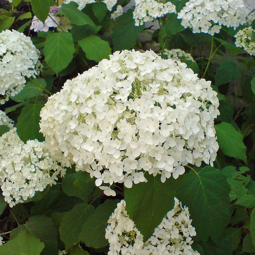 Hortensie Annabell ballhortensie annabelle hydrangea arborescens annabelle die