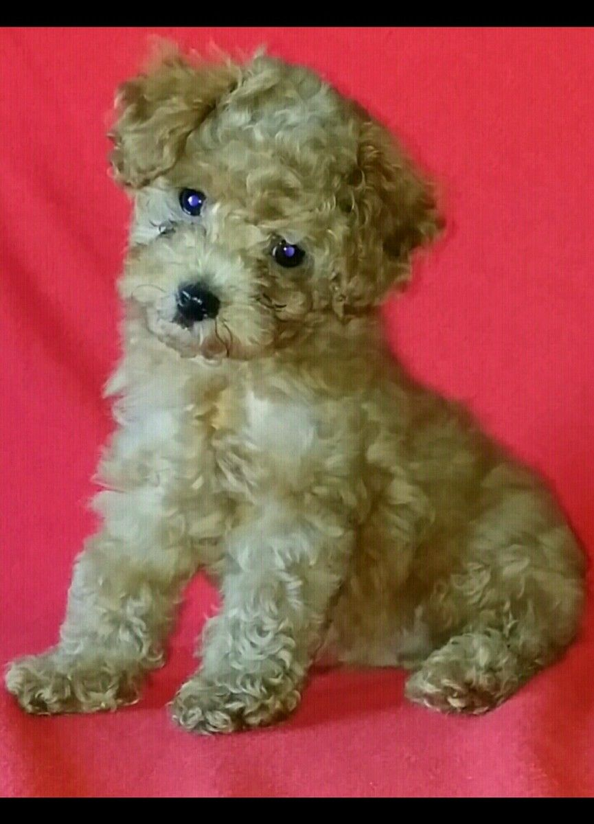 Toy Poodle Puppies For Sale Sacramento Ca Toy Poodle Puppies Poodle Puppies For Sale Poodle Puppy