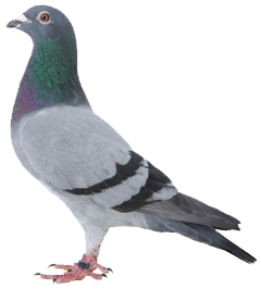 Quot When We Look At A Blue Bar Pigeon We Clearly See What Appears As Two Pigeon Pictures Blue Bar Baby Pigeon