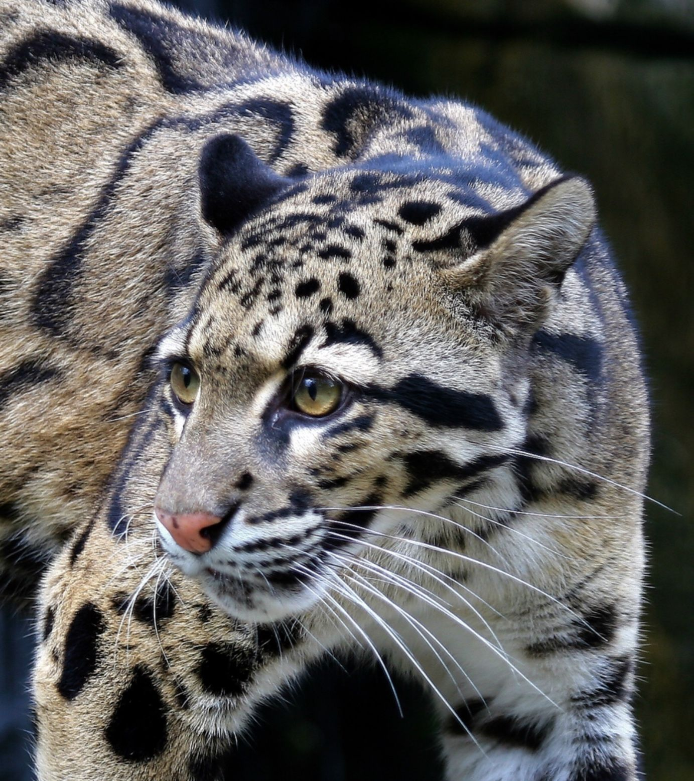 Clouded leopard, to me one of the most beautiful of the ...