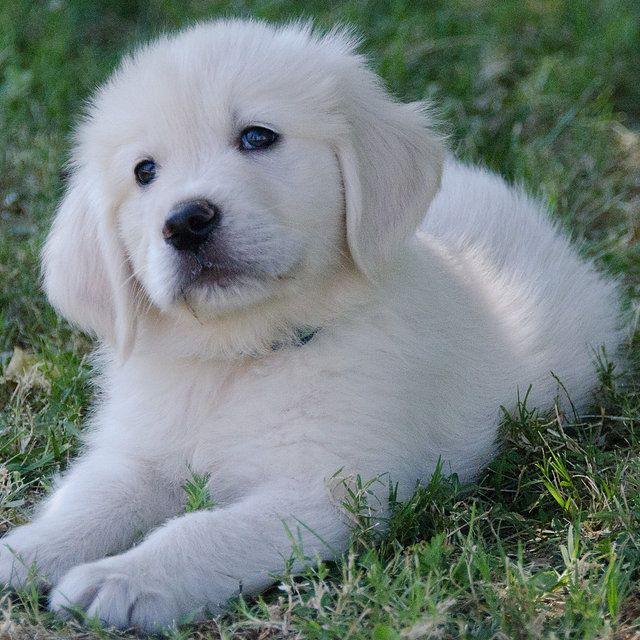 English Golden Retrievers Breeder In California View Our Puppies