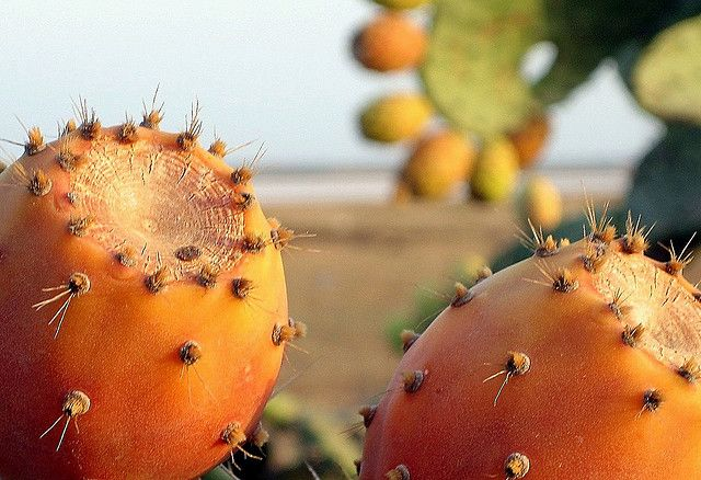 سلطان الغلة  هرقلة / تونس Figue de Barbarie Opuntia ficus-indica (famille des Cactaceae)  Figues de Barbarie, (en français), hendi ( en dialecte tunisien ) :fruit qu'on n'arrête pas de savourer .  Ce fruit, est surnommé « le roi des fruits » ( Soltan http://figue-de-barbarie.blogspot.co.at/2013/08/la-figue-de-barbarie-un-remede-miracle.html