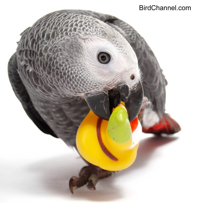 Why Congo African Greys Are So Popular