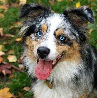 Breeds Of Dogs With Blue Eyes Smartest Dog Breeds Australian Shepherd Dog Breeds