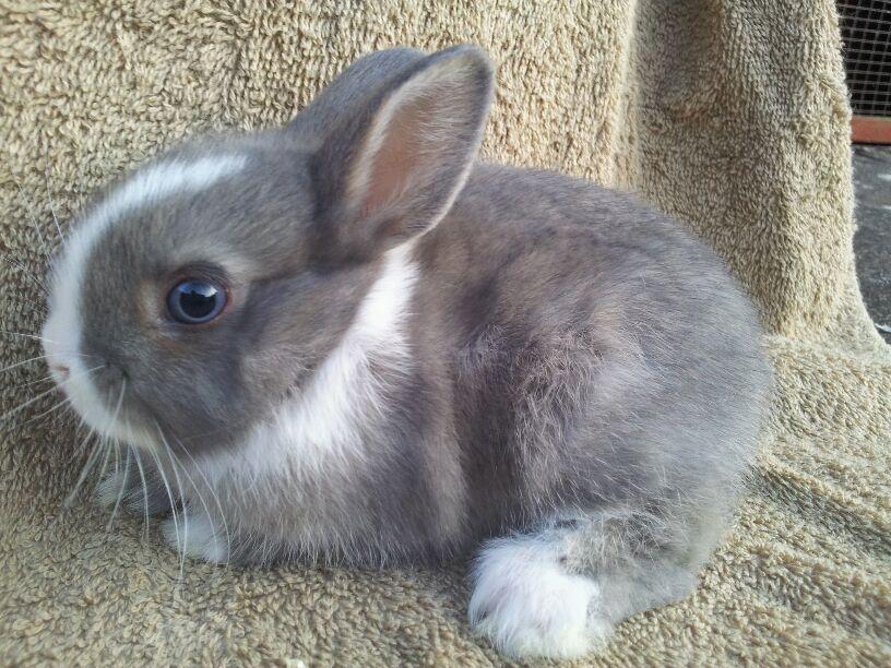 Ready now netherland dwarf baby bunny   Rushden ...