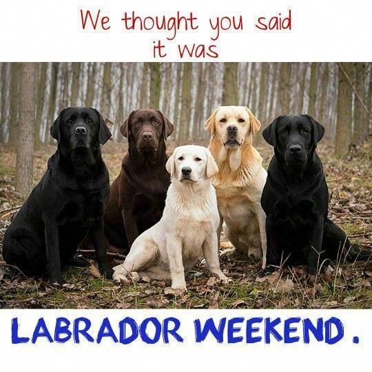 Labor Dat Dove Season Labrador Dog Pinterest Dog Labor Dogs