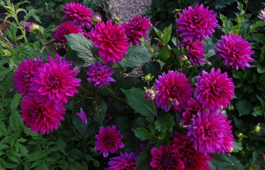 Dahlia Bluesette By Scorpion Spell Dahlia Flowers Plants