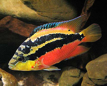 Welcome To Javed Fisheries We Are Breeder Wholesale Dealer Collector Supplier Importer For Tropical African Cichlid Aquarium Tropical Fish Cichlid Fish