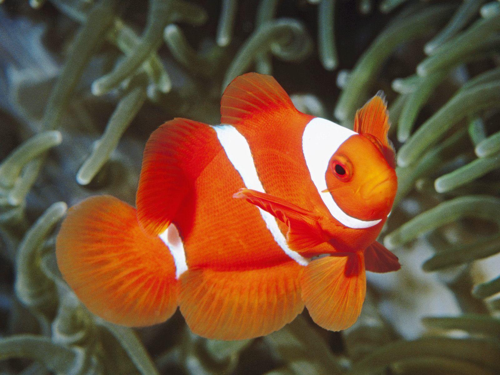 о рыбе клоун с картинками нас представлены качественные