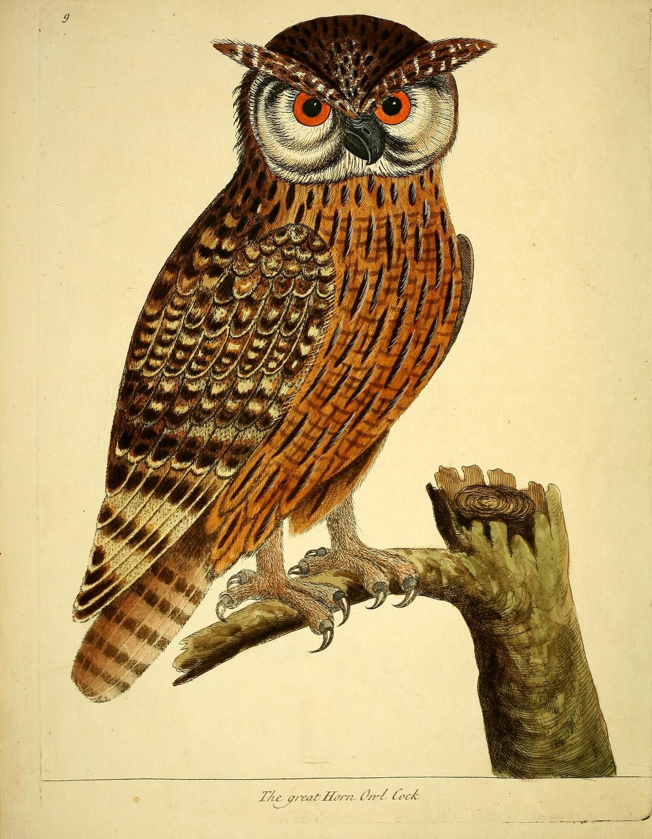 Vintage Owl Illustration By Eleazar Albin From A Natural History Of Birds Vol 2 1731 Bird Prints Owl Bird Art