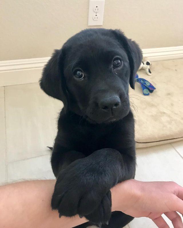 Fantastic Labrador Retriever Black Adorable Dog - 043337a0156026af4aa037a64188732d  2018_12320  .jpg