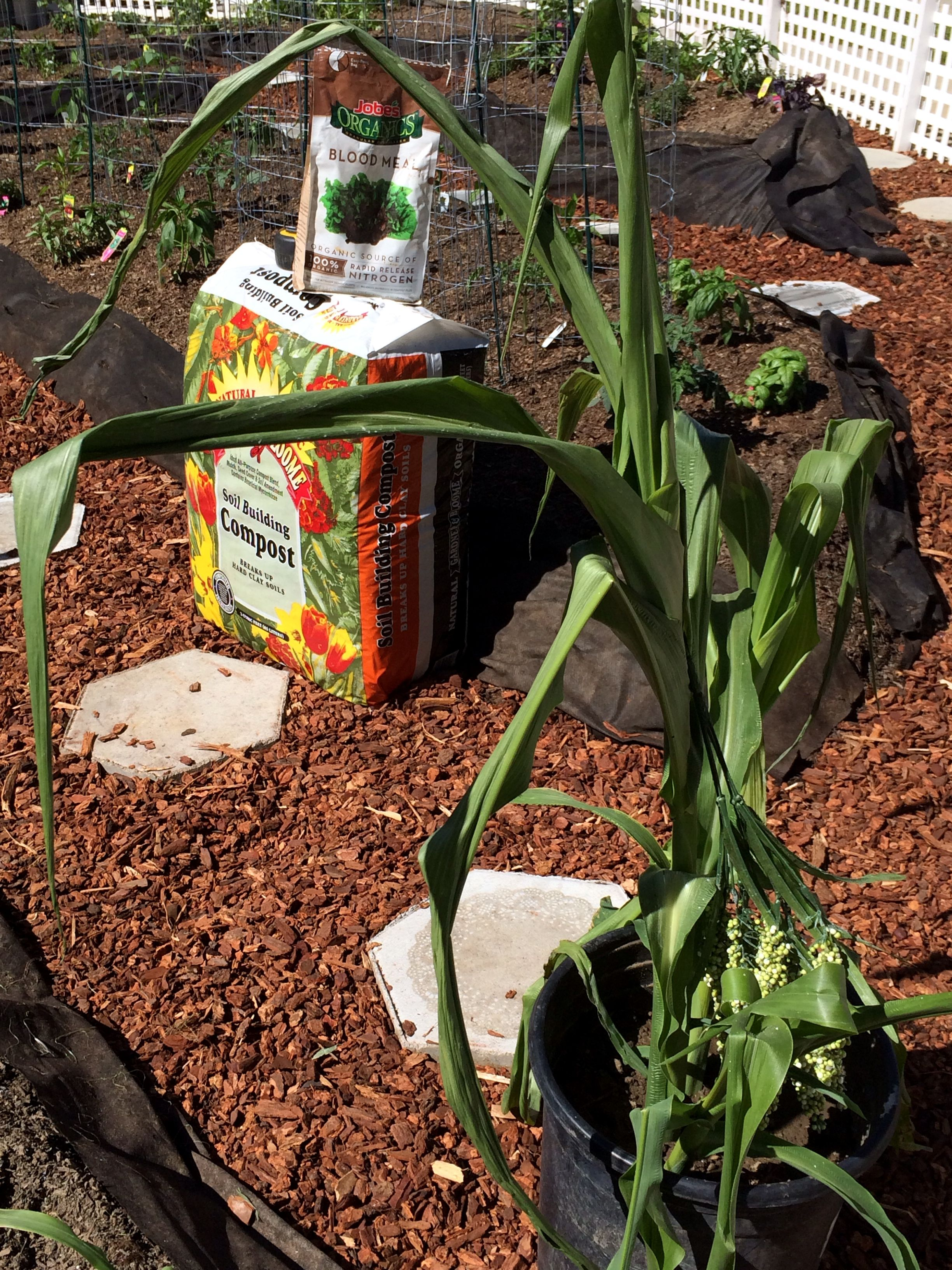 Shirley Bovshow teaches us how to grow corn on the cob in our very ...