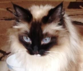 Adopt Caly On Petfinder Balinese Cat Cute Animals Cat Lady Starter Kit