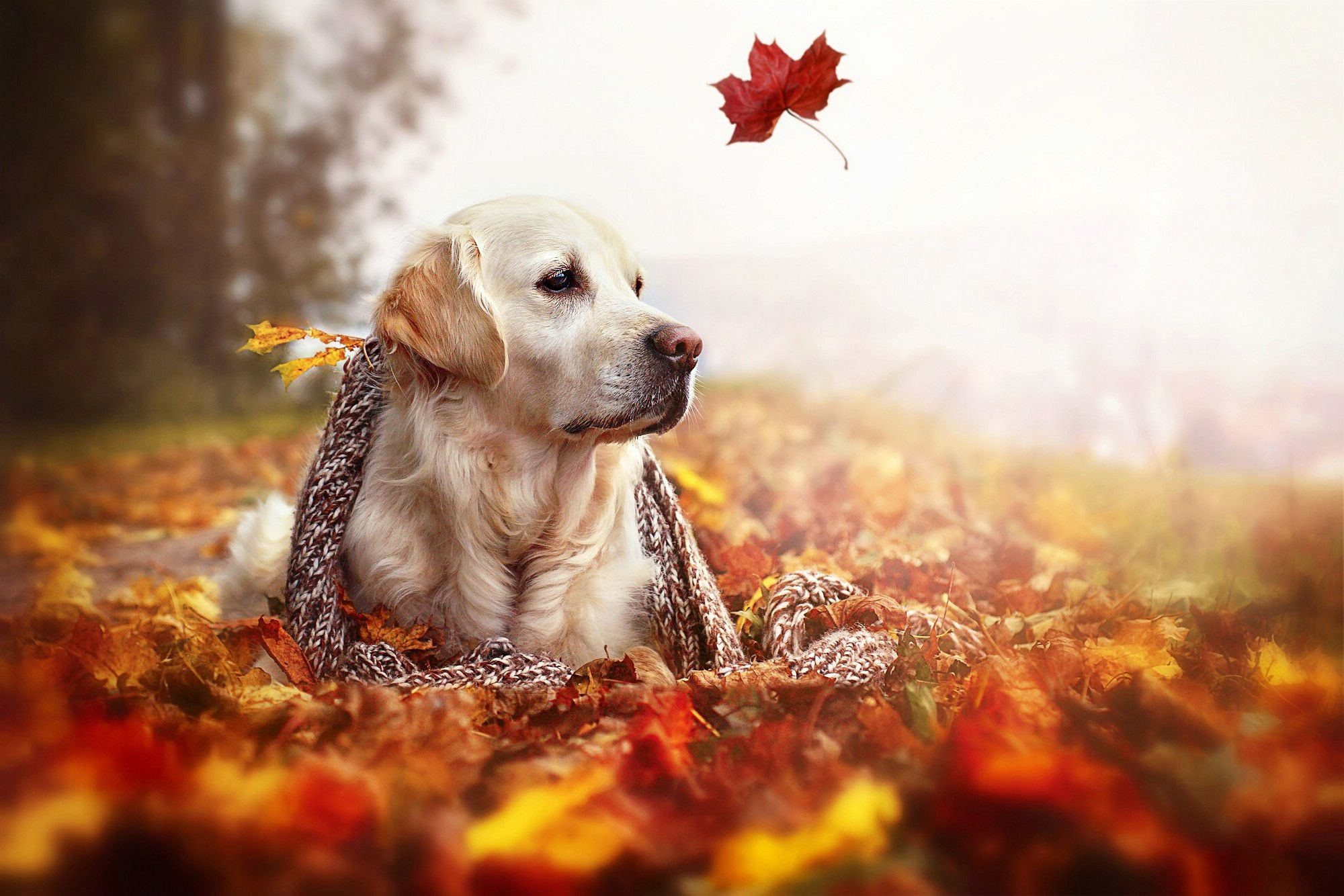 One Autumn Leaf In The Wind And A Beautiful Dog Relax Time Animal Wallpapers Hd Wallpaper Download For Dogs Golden Retriever Golden Retriever Beautiful Dogs