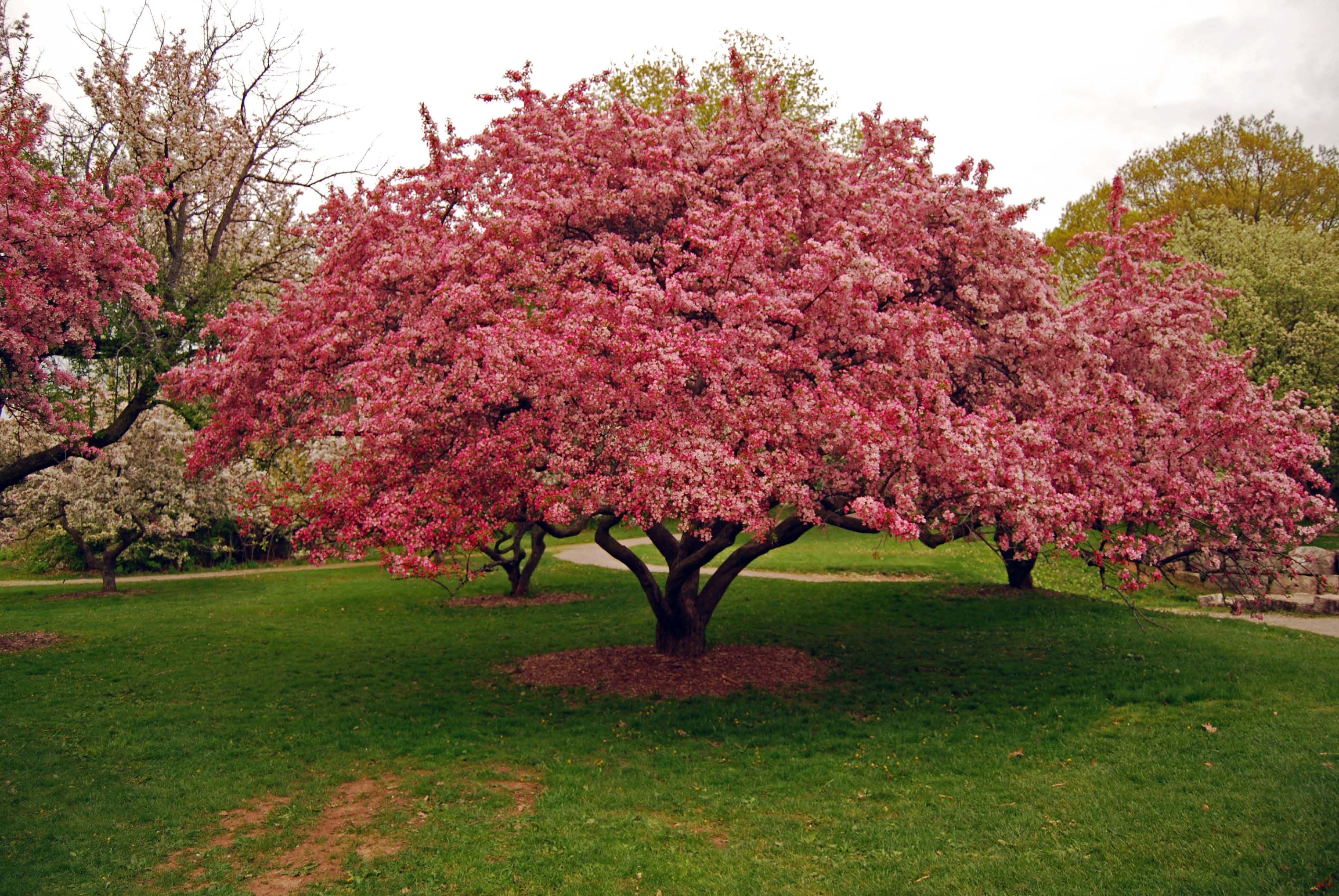 Flowering crab apple loved when this tree bloomed in grandpaus