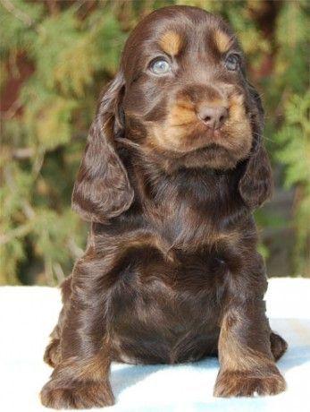 English Cocker Spaniel Puppy Doggie Love Animals Pets Fun