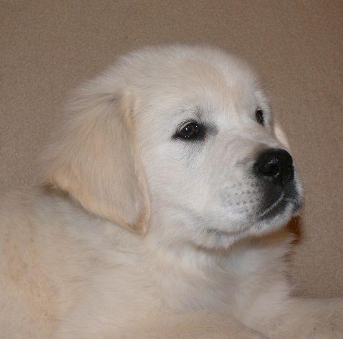 English Golden Retriever Puppy Golden Dog English Golden