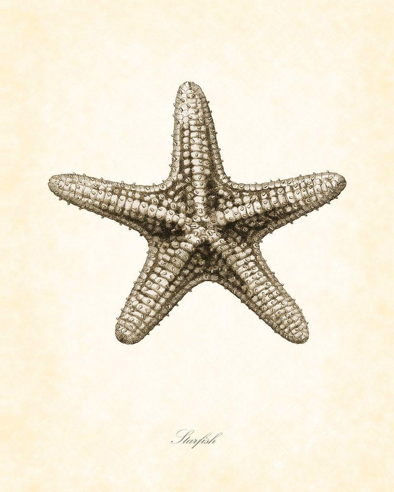 starfish illustrations | Vintage Starfish in Sepia 8 x 10 ...