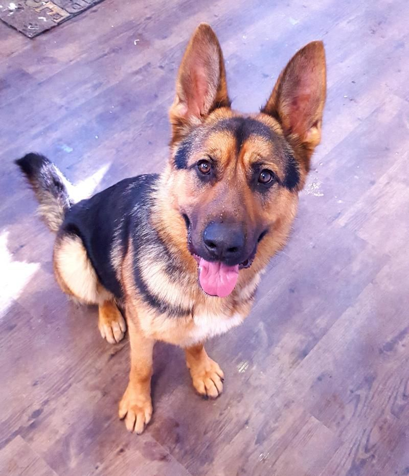 Adopt Wilson Coming Soon On German Shepherd Dogs German
