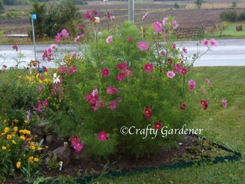 Cosmos easy care tall annual plant prefer full sun for Easy care garden plants