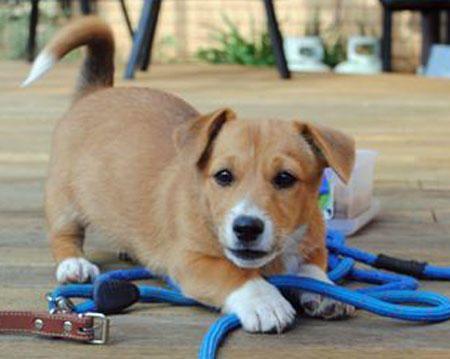 Cleo The Corgi Mix Corgi Mix Corgi Mix Puppies Cute Puppy Names