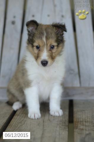 Da Vinci Shetland Sheepdog Puppy For Sale In New Castle In Sheep Dog Puppy Sheltie Puppy Puppies For Sale