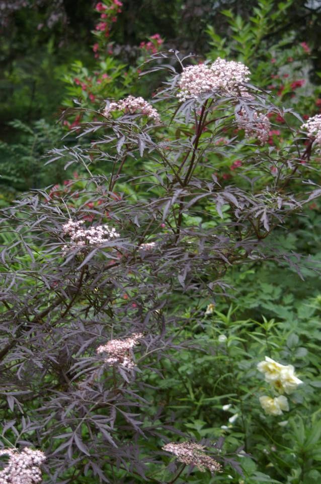 Care Black Lace Elderberries