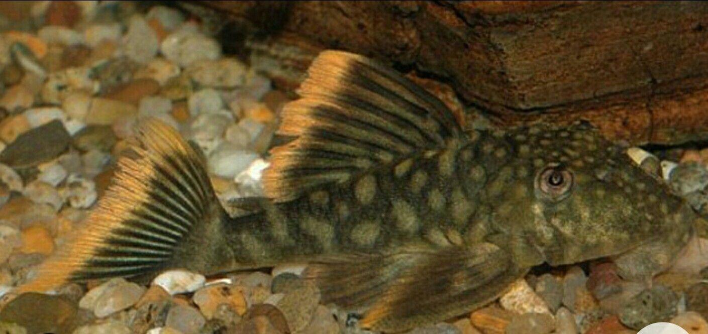 L106 Orange Seam Pleco Plecostomus Fish Pet Tropical Fish