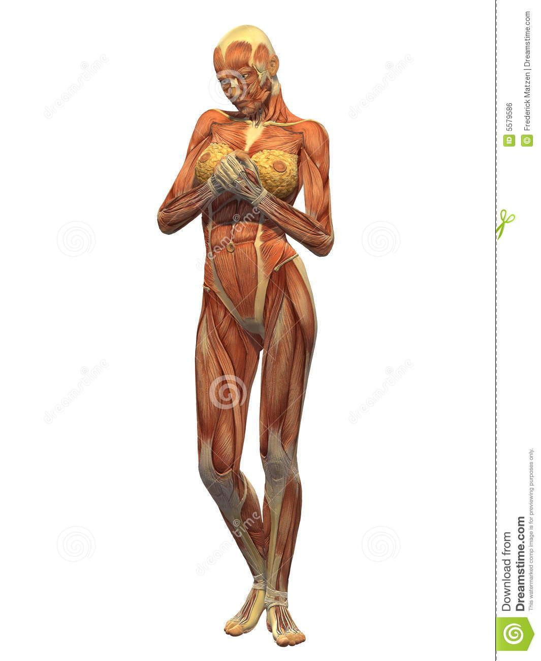 Human Body Muscle - Female Front Royalty Free Stock Image - Image ...