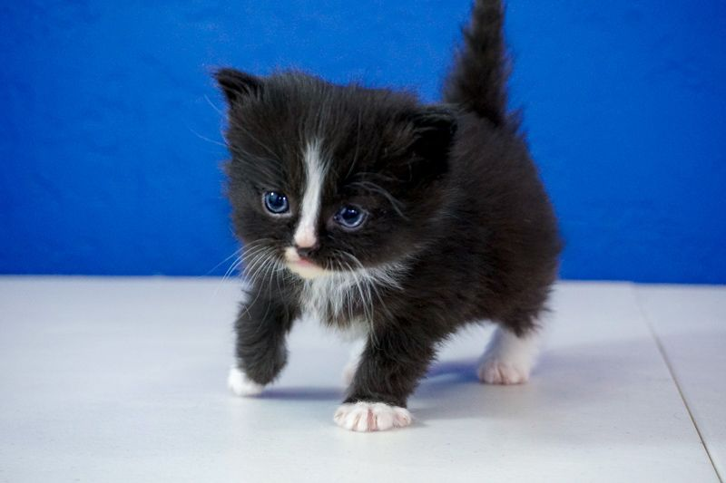 Ragdoll Kittens for Sale Near Me | Buy Ragdoll Kitten ...