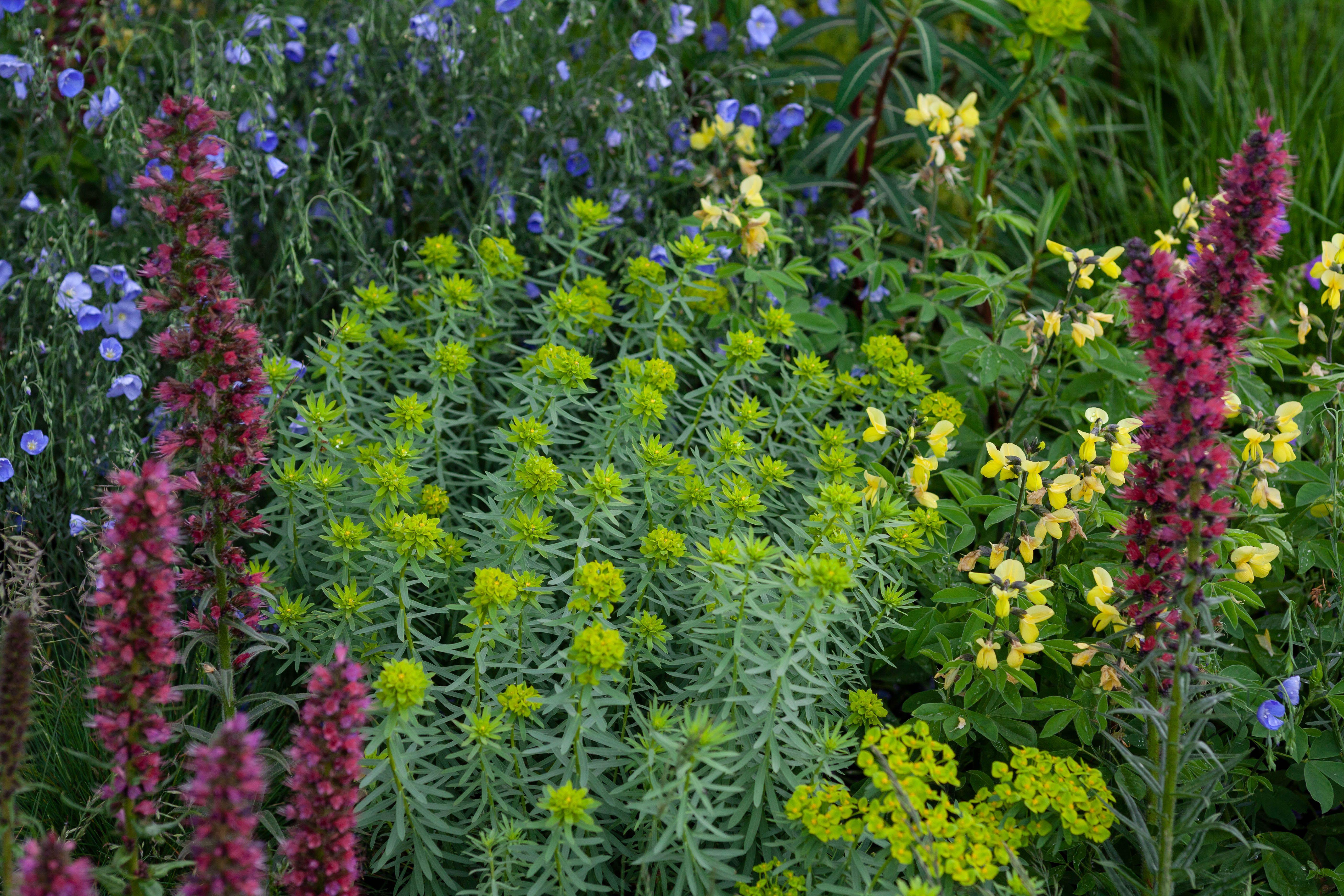 Linum Perenne Euphorbia Seguierana Subsp Niciciana Thermopsis