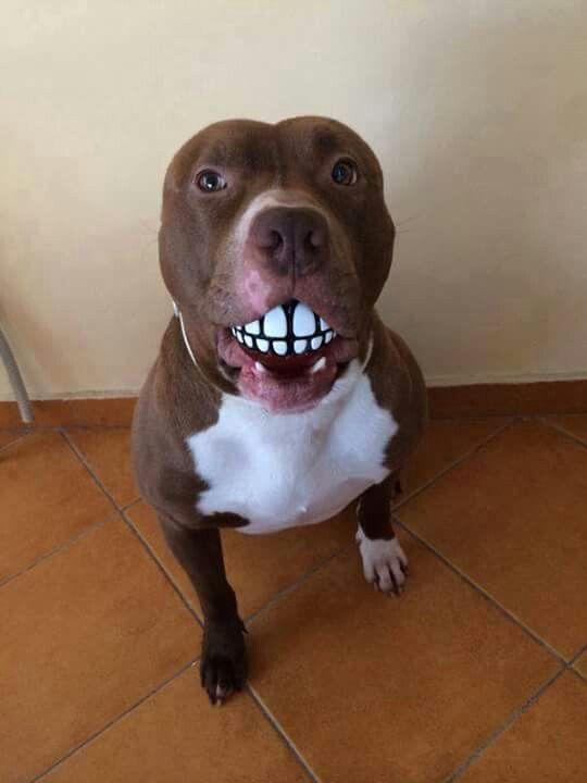 A Ball With Teeth Cute Pitbulls Super Cute Animals Dog