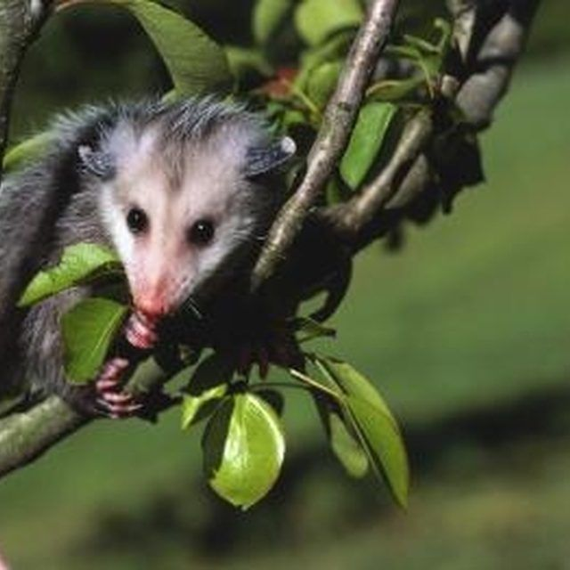 How To Get Rid Of Fleas Possums Opossum Facts Opossum Possum Facts