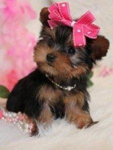Teacup Yorkie Puppies Jacksonville Nc Asnclassifieds Animals