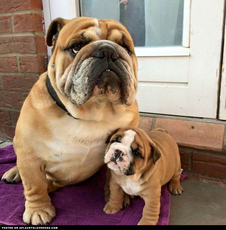 Bulldog Puppy With His Daddy Visit Our Poster Store Rover99
