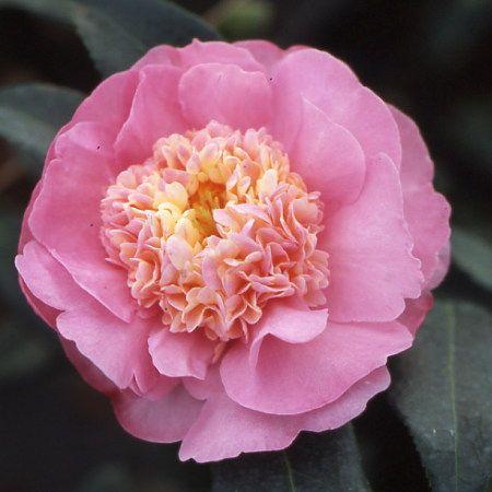 Photo 1 Camellia Sugar Dream