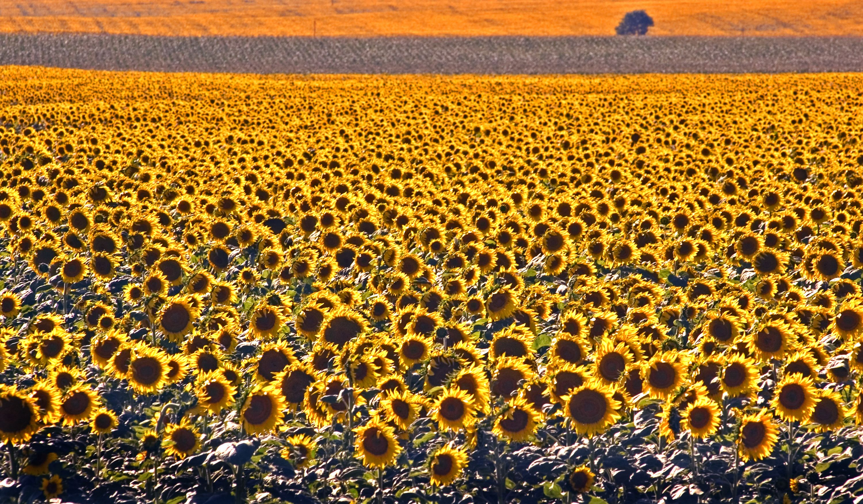 Sunflowers are a major crop grown in South Dakota. | Agriculture ...