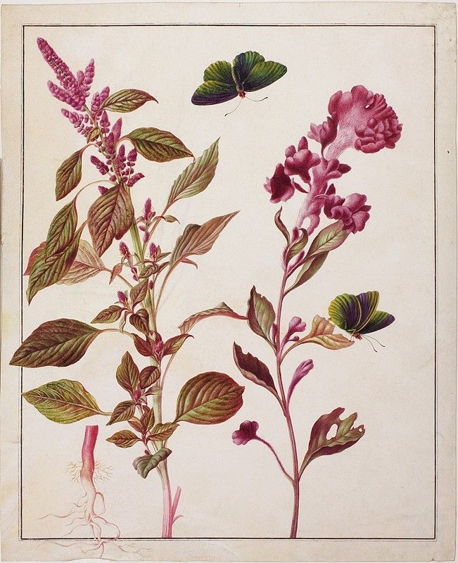 Watercolor of Silver Celosia (Celosia argentea), cockscomb (Celosia argentea cristata), butterfly (Euptychia lea). Maria Sibylla Merian: Leningrader Aquarelle. Leipzig, 1974. Bd.2. S.293