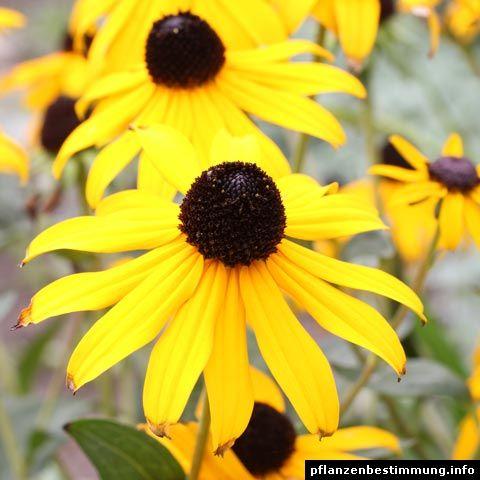 gelb bl hende pflanzen und blumen bestimmen balkon k sten pinterest blumen bestimmen. Black Bedroom Furniture Sets. Home Design Ideas
