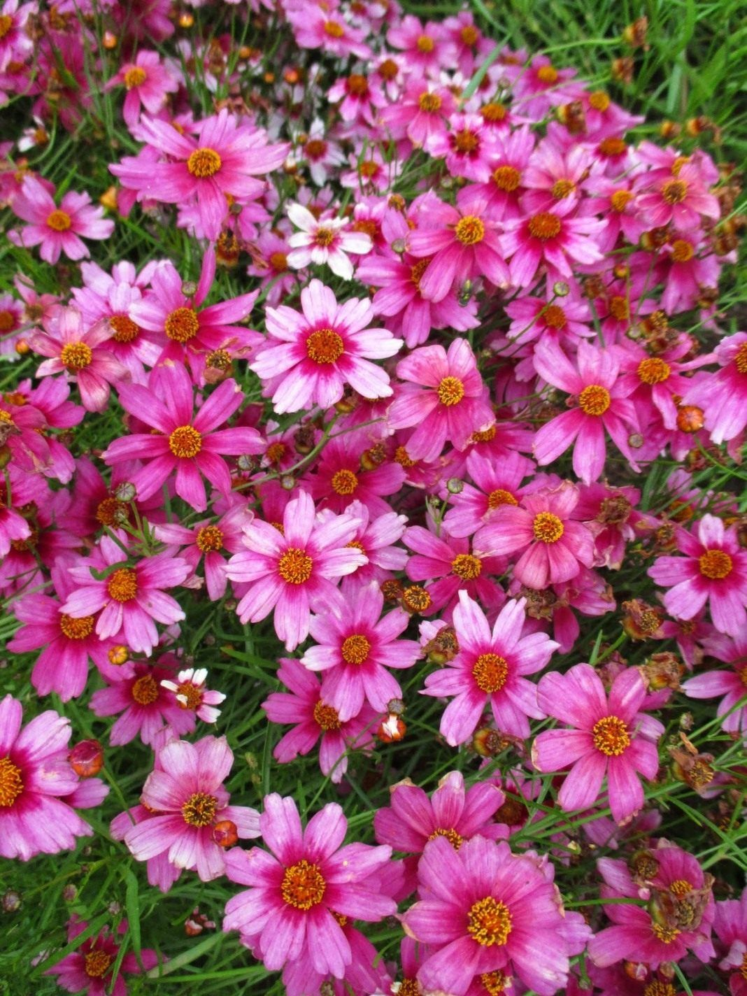 Садовый цветок-цветок солнца