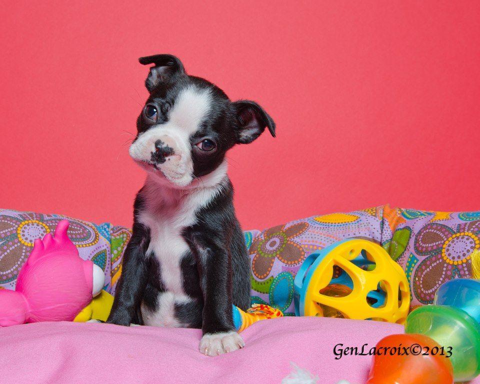 7 weeks old Puppy named Romie Head Tilting