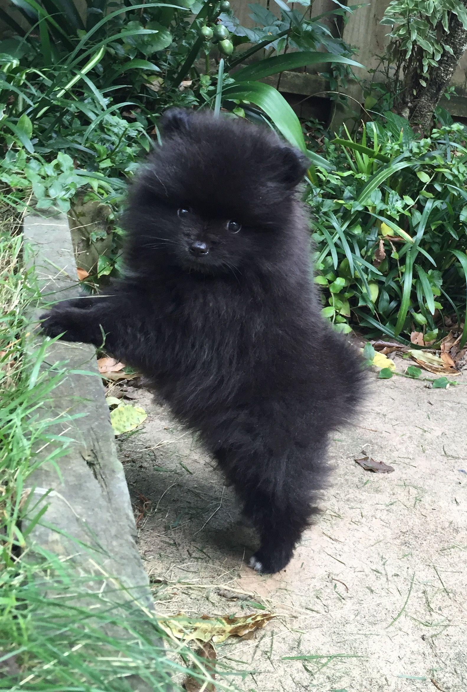 Black Pomeranian Puppy For Sale Near Me : black, pomeranian, puppy, Pomeranian, Puppy,, Black, Puppies,