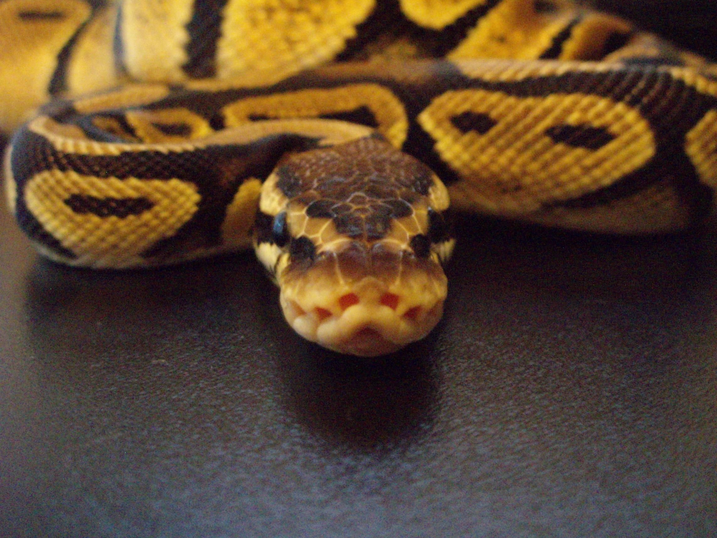 amazing ball python wide hd wallpaper (2287×1715) | snakes