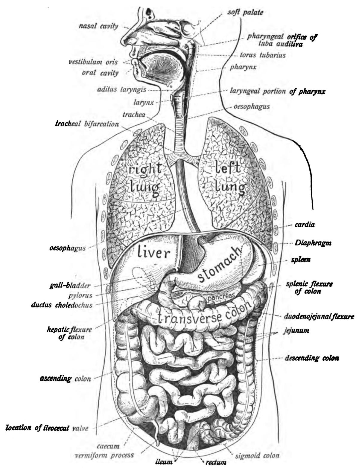 Human digestive system - Wikipedia   Human digestive ...