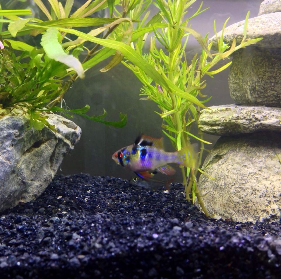 German Blue Ram Seraphina Fish Tank Tropical Fish Fish Pet