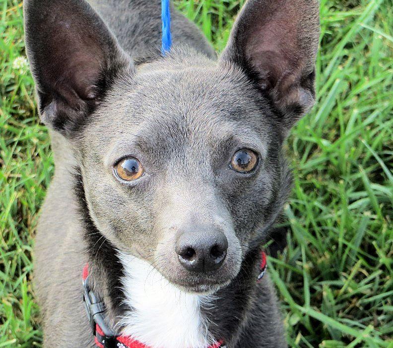 Rat Cha Dog For Adoption In Columbia Tn Adn 24916 On Puppyfinder