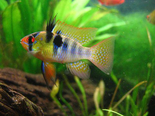 German Blue Ram Mikrogeophagus Ramirezi Probably My Favorite Freshwater Fish And In My Opinion Tropical Freshwater Fish Tropical Fish Aquarium Tropical Fish